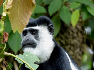 Uganda Safari op maat Black and White Colobus in Bigodi Wetlands Mambulu Safaris With A Difference